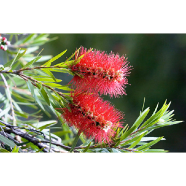 Seeded Paper A4 (weeping bottlebrush) (Pack of 20 sheets)